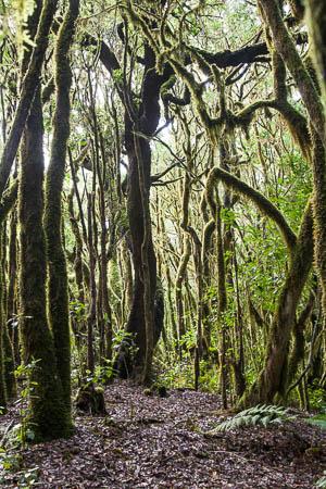 Het nevelwoud van Nationaal Park Garajonay op La Gomera