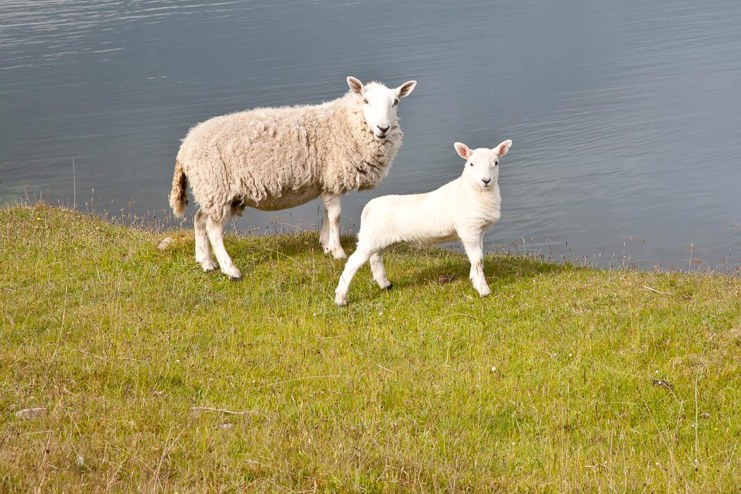 Schaap en lam in Schotland