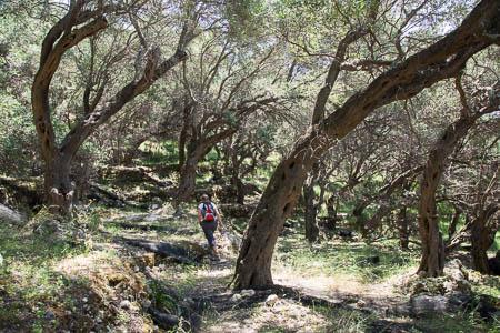 Olijfboomgaard op Corfu