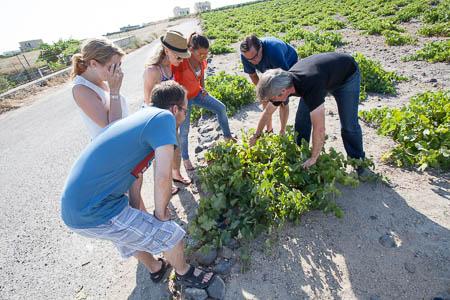 Wijnveld op Santorini