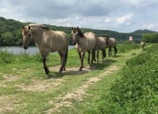 Paarden in de Eijsder Beemden