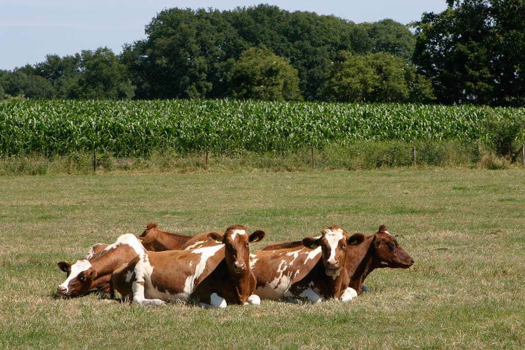 Koeien langs het Pieterpad