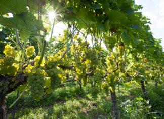 Druiven in de middagzon, Achterhoek