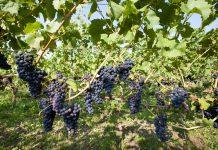 Wijngaard in Nederland