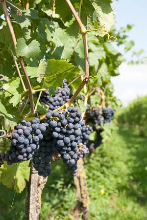 Rode druiven tijdens wijnwandelen in Duitsland
