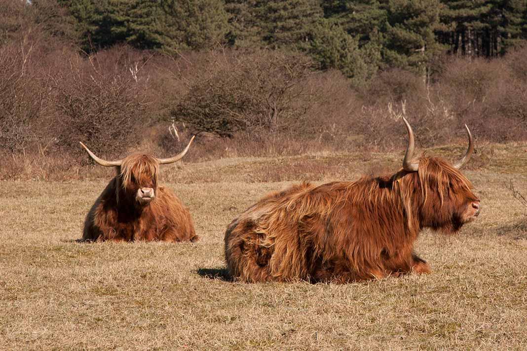 Schotse Hooglanders tijdens wandeling in de Kennemerduinen