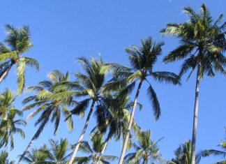 Palmbomen, Bali