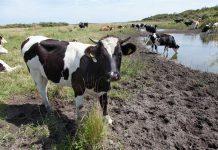 Koeien in natuurgebied De Kwade Hoek