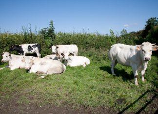Koeien in Soiron