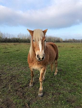 Paard in de Brabantse Biesbosch